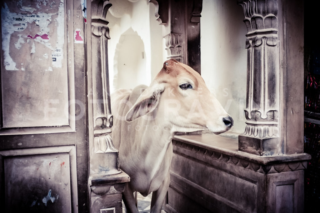 Holy cow [Pushkar]